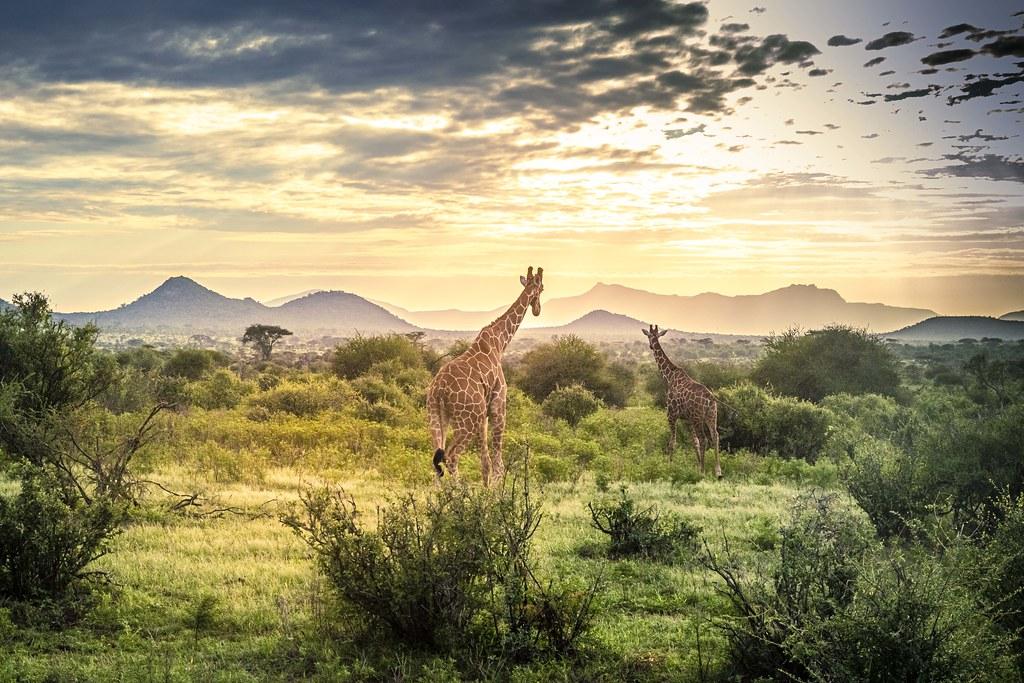 girafes-1082 43