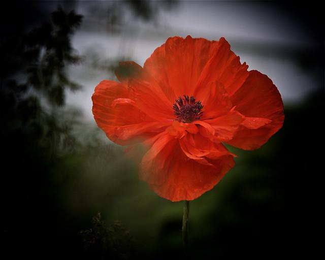 poppy, blooming, 6-14-19