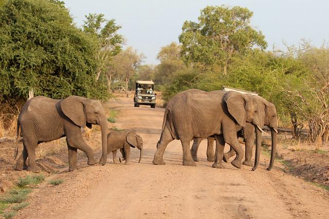 African Bush Elephant - Loxodonta africana