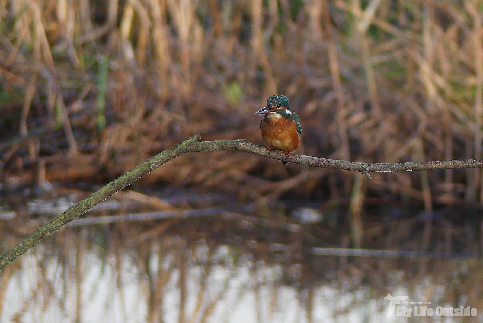 P1220651 - Kingfisher, Seaton Wetlands