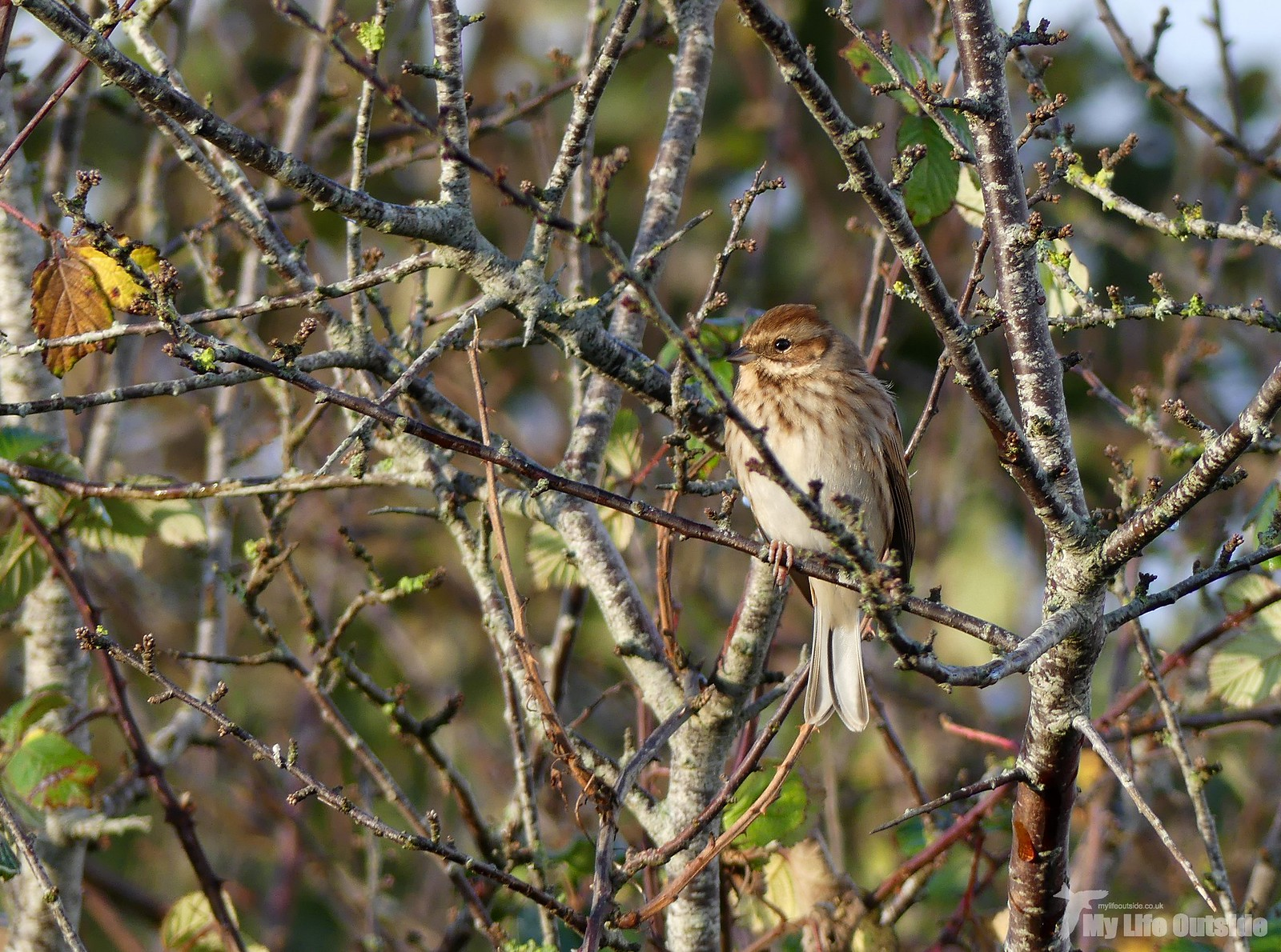 P1220627 - Reed Bunting, Seaton Wetlands