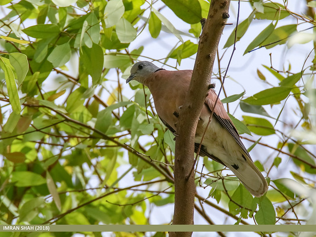 Red Collared Dove (Streptopelia tranquebarica)