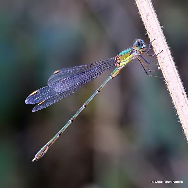IMG_8927. Willow Emerald Damselfly (Chalcolestes viridis) M