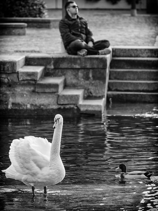 Swan and nap