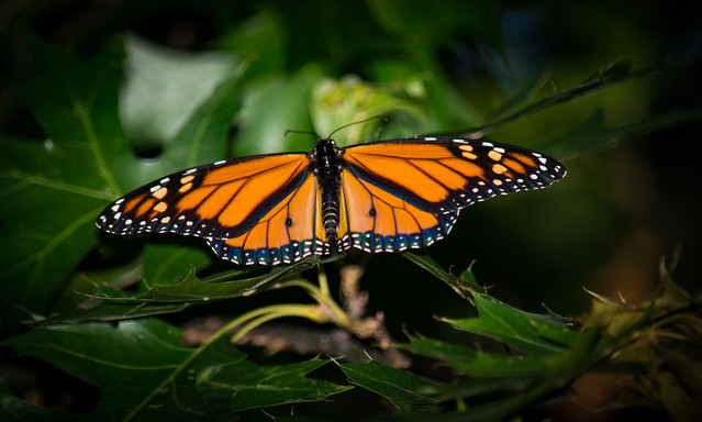 Monarch Found