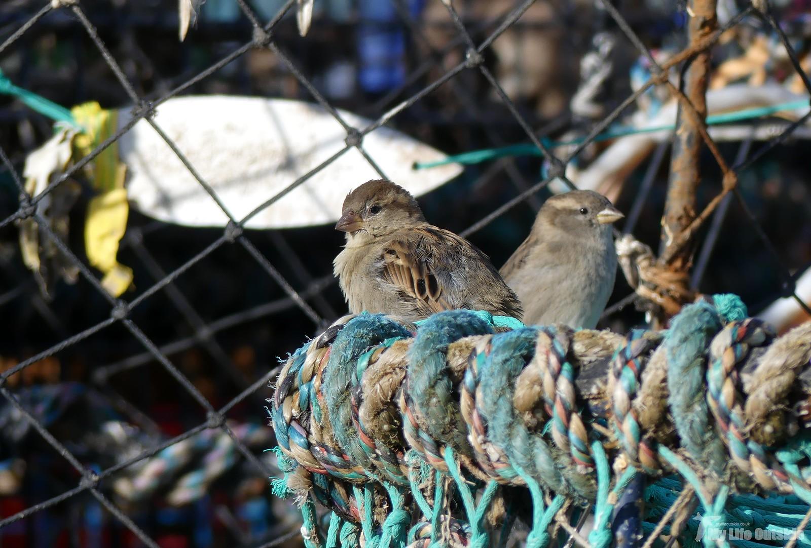 P1220551 - House Sparrow