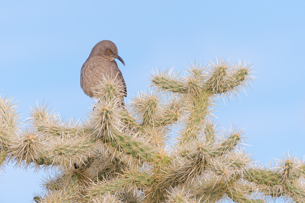 A curve-billed thrasher looks down as it perches atop a chain fruit cholla on the Rock Knob Trail in McDowell Sonoran Preserve in Scottsdale, Arizon in November 2019