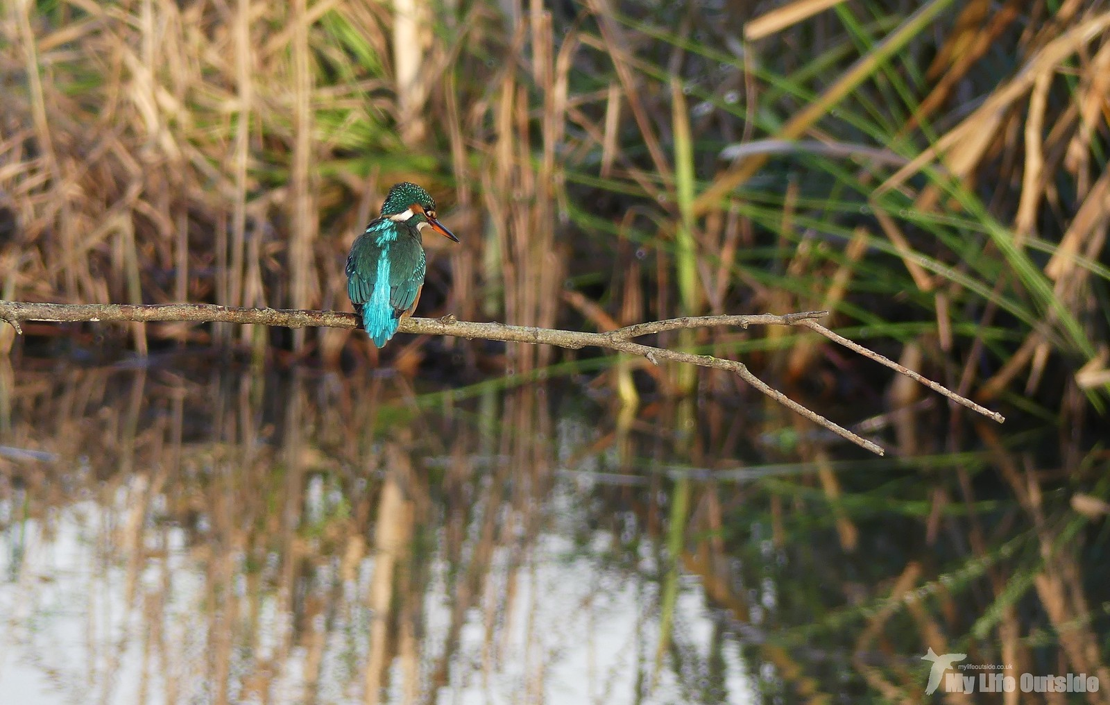 P1220641 - Kingfisher, Seaton Wetlands