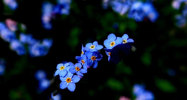 Fleur bleue – Myosotis – Ne m'oublie pas
