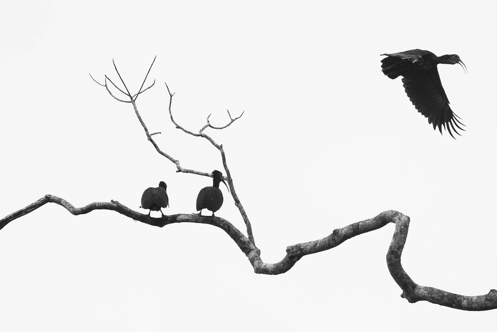 [Green Ibis - Mesembrinibis cayennensis]-[CR-Laguna Lodge]