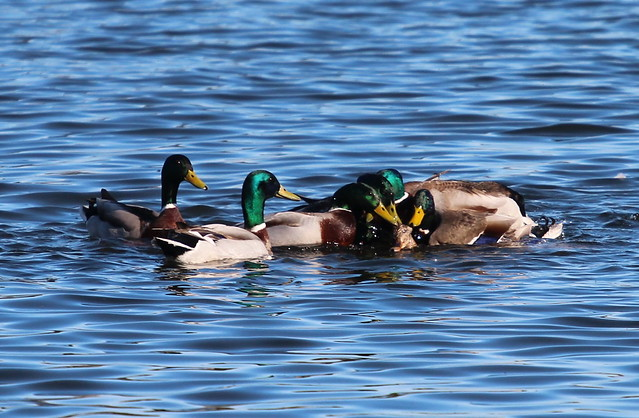Mating Mallards