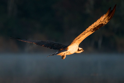 osprey bird raptor flight bif sunrise light fog water reflection nature wildlife mudlake pasadena texas kayak gseloff