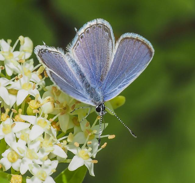 Western Tailed Blue - Cupido amyntula (Lycaenidae, Poliommatinae, Polyommatini) 119y-6091904