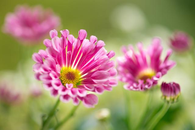 chrysanthemum 1483