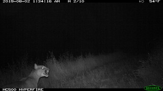 Mountain Lion 8/2/2019 @1:30am motion-sensor camera