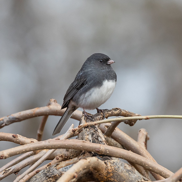 Dark Eyed Junco (male)