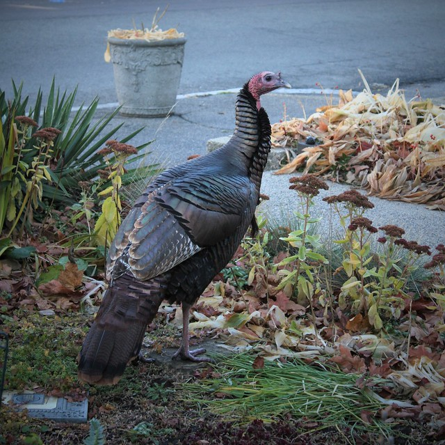 On the Eve of ThanksGiving & SAFE In My Garden