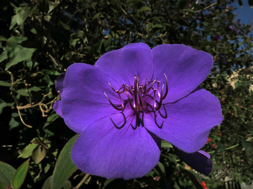 Pleroma foveolatum (5551)