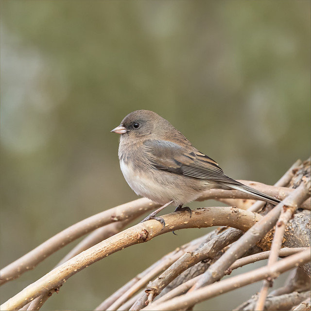 Dark Eyed Junco (female)