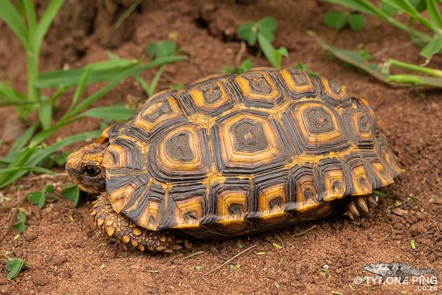 Kinixys natalensis - Natal Hinged Back Tortoise.