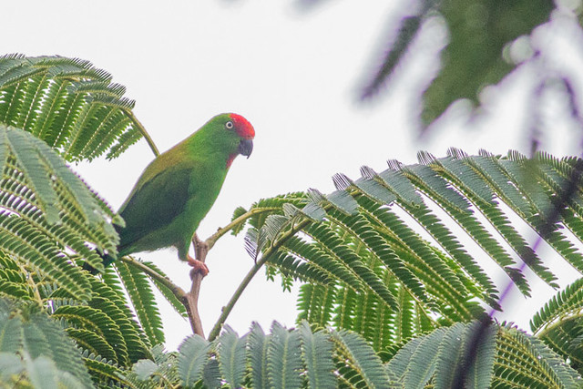 Sulawesi Hanging-Parrot