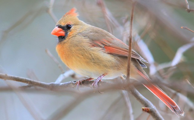 northern cardinal female at Lake Meyer Park IA 653A8293