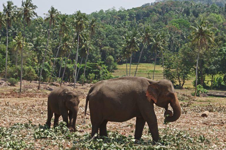 因為森林消失,大象被迫在人類主導的區域裡求生。照片提供:Celles/Pixabay