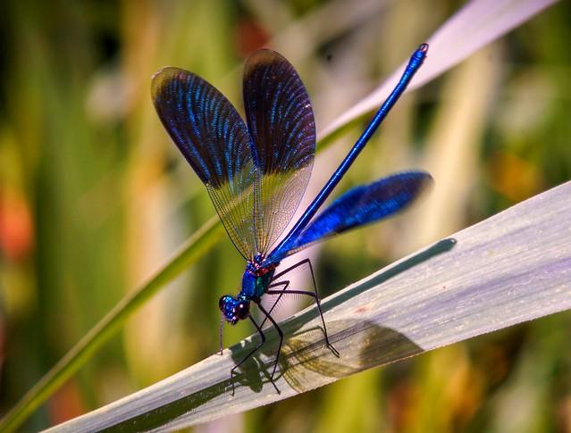 Dragonfly ( Carl Zeiss Sonnar 135mm f3.5 Zebra version )