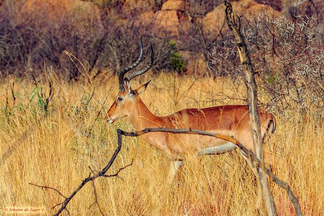 Impala ram (In Explore)