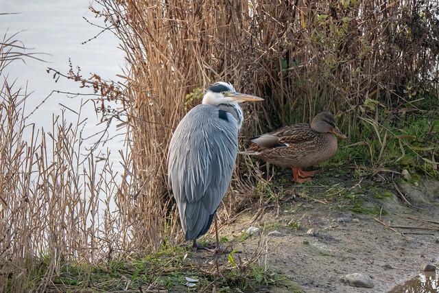 Berlin, Kienbergpark: Graureiher am Wuhleteich - Grey heron (Ardea cinerea) on a sandbank in the Wuhle Pond