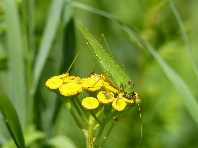 Sickle-bearing Bush Cricket - Gemeine Sichelschrecke