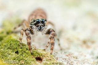 Jumping spider (Salticidae) - DSC_0513