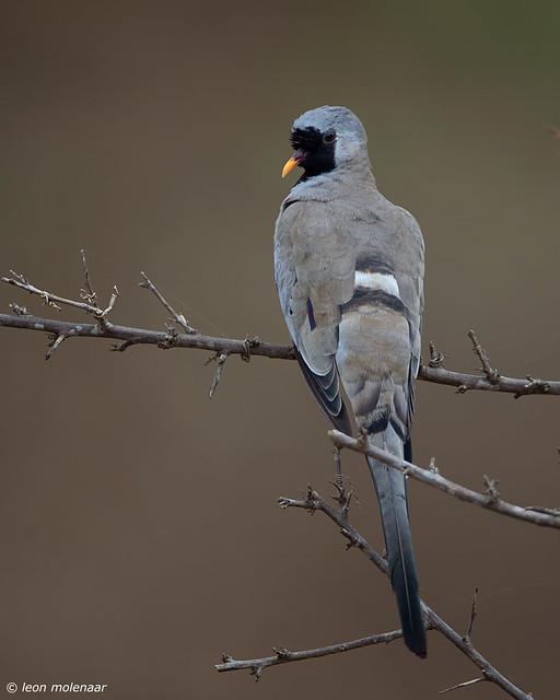 Namaqua Dove, female