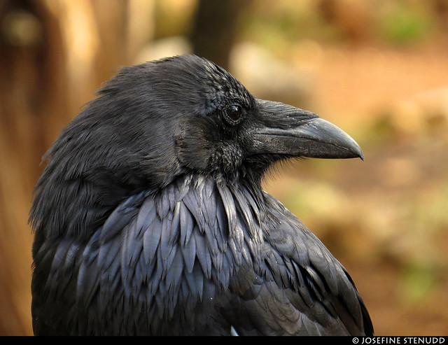 20160826_08 Raven (Corvus corax) at the campground near Grand Canyon, Arizona