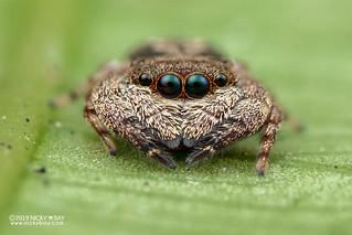 Jumping spider (cf. Ligurra sp.) - DSC_0388