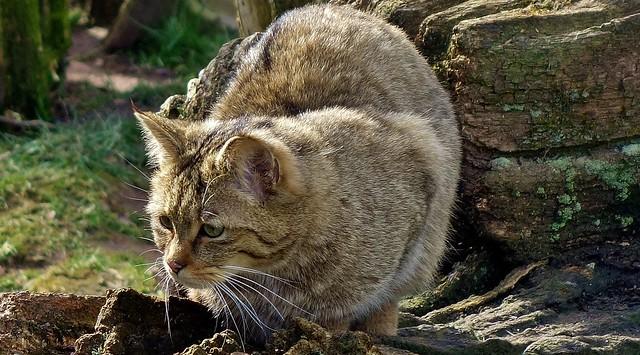 Wildkatze im Wildpark,  Maus in Sicht, 76839/12150