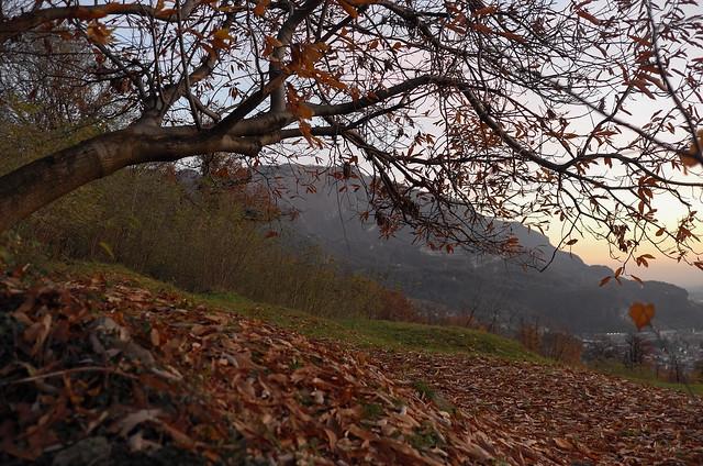 foglie morte del castagno