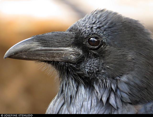 20160826_02 Raven (Corvus corax) at the campground near Grand Canyon, Arizona