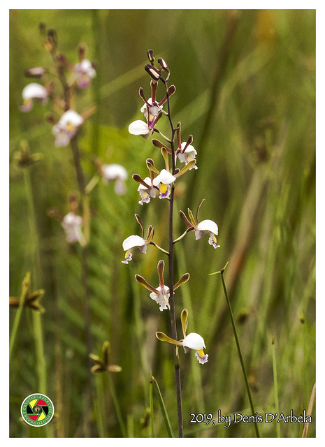 Orchid in Mabamba Swamp