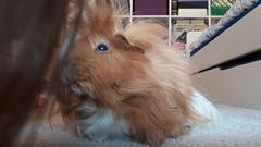 #Guinea Pigs