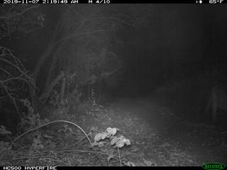 Mountain Lion 11/7/2019 @2:18am motion-sensor camera