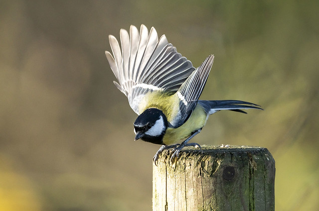 Ya great tit