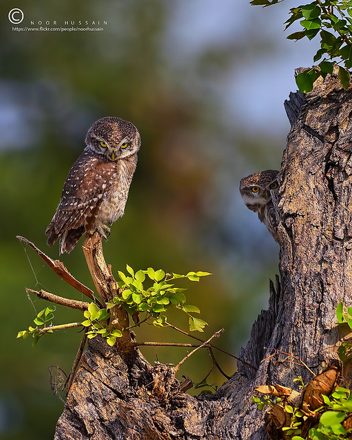 Spotted owlets.