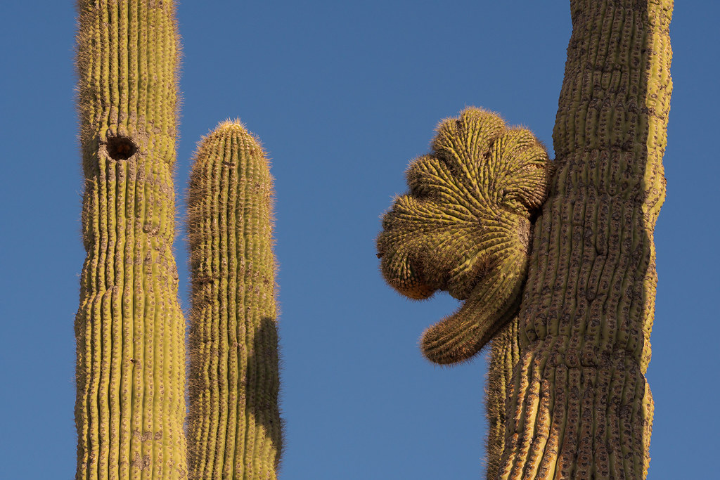 A close-up of the crested saguaro (also known as cristate saguaro) I call 'Witch Hazel' on the Vaquero Trail in McDowell Sonoran Preserve in Scottsdale, Arizona in October 2019