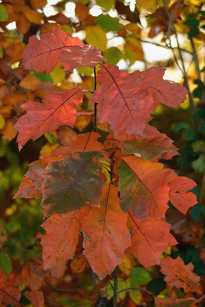 Red autumn with Red Oak