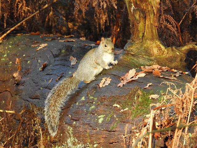 Grey Squirrel DSCN3543