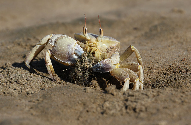 Rounded Ghost Crab