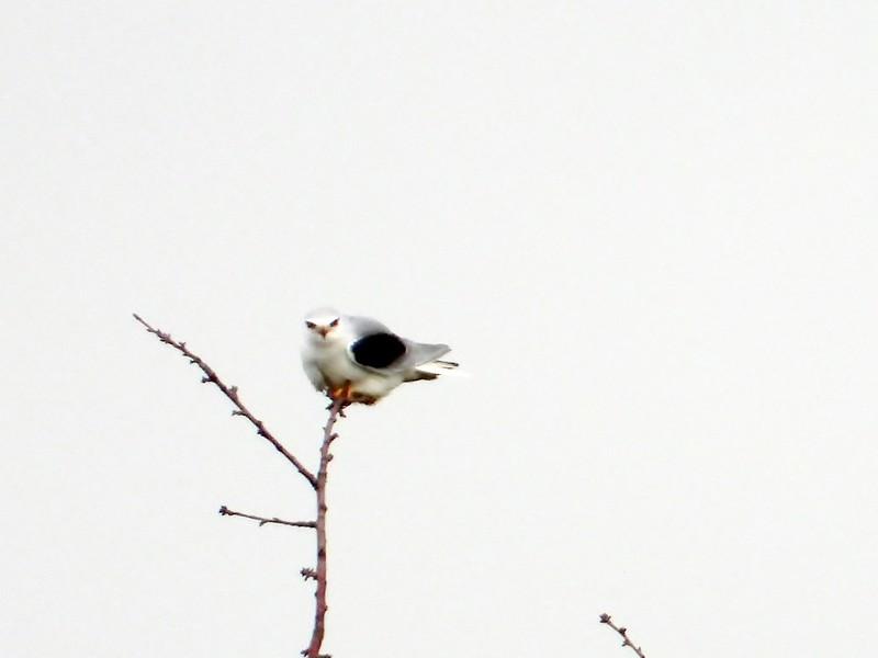 Gleitaar * black-shouldered kite [Elanus caeruleus]