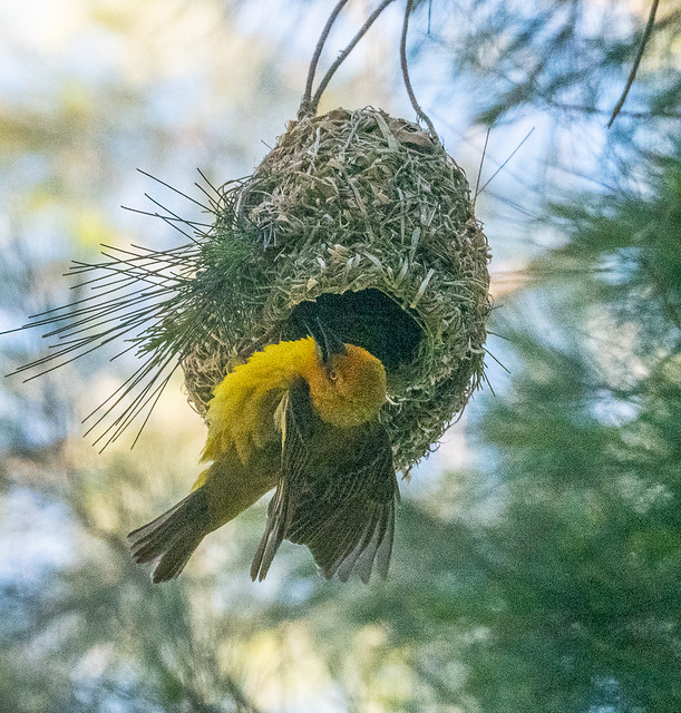 Looking for shelter - the yellow weaver bird