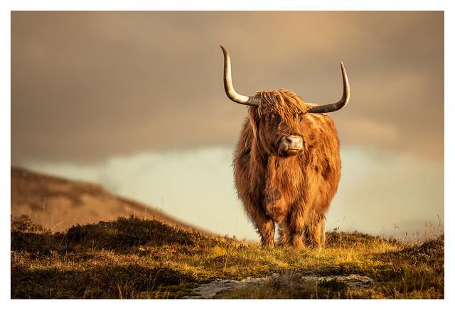 Highland Cow, Elgol, Isle of Skye